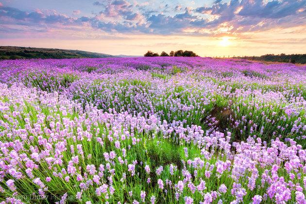 sunny_lavender