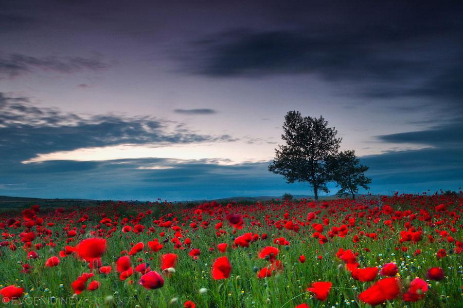 poppies_at_may